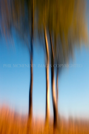 Four Silver Birch<br /> <br /> Blue sky and four birch trees stand proudly in the sun