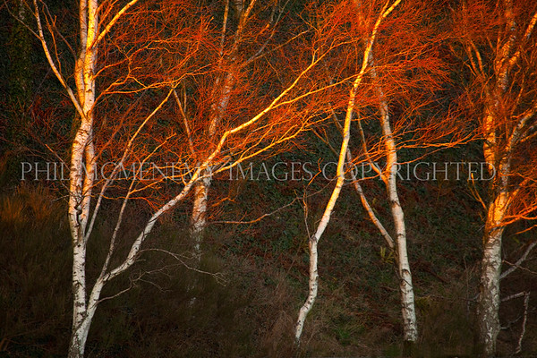 Birch Light<br /> <br /> It really is all about the light - thirty sconds and this was gone maybe forever maybe not......