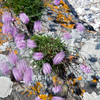 SEA-PINK<br /> <br /> The lovely contrast between the soft wind-blown sea-pink thrift and the  static lichen encrusted rock