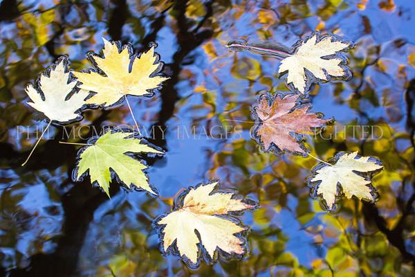 Maple Memories