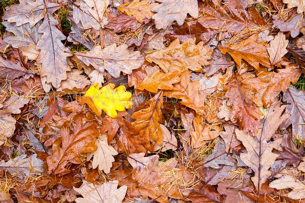 Oak Leaves - autumn