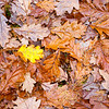 Oak Leaves - autumn