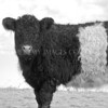 Beltie<br /> <br /> Another favourite - I owe this animal a kiss and a huge thank you! This is the signature beast of these parishes.