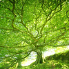 Protection<br /> <br /> One of a pair, I like to view them as siblings, of huge and all-encompassing beech trees - my favourite place is to sit underneath and have a think in their safe comfort.