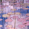 Summer Lilies<br /> <br /> Dappled light falls on lily pads and reeds in early summer on my Monet-esque approach to the scene