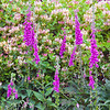 Foxglove<br /> <br /> Love the strength of this, love the contrast and the shapes