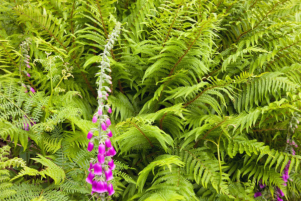Foxglove and Fern<br /> <br /> Two native plants with quite different attitudes - together they make a fine pair.