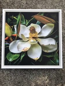Southern Magnolia 16x16 with white frame $ 150.00  Available for pick up at our studio.