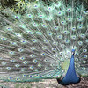Indian Blue Peafowl - Wildlife World Zoo, Arizona - April 2011