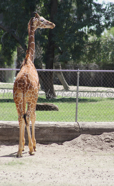 Giraffe - Wildlife World Zoo - April 2011