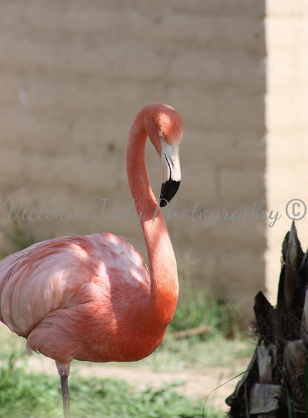 Flamingo 2 - Wildlife World Zoo, Arizona - April 2011