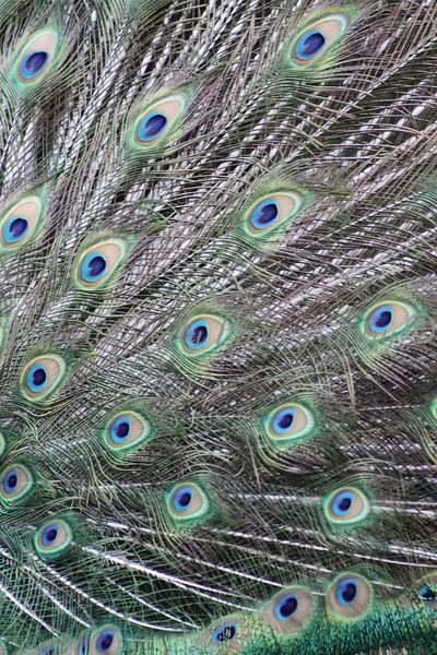 Indian Blue Peafowl Feathers - Wildlife World Zoo, Arizona - April 2011