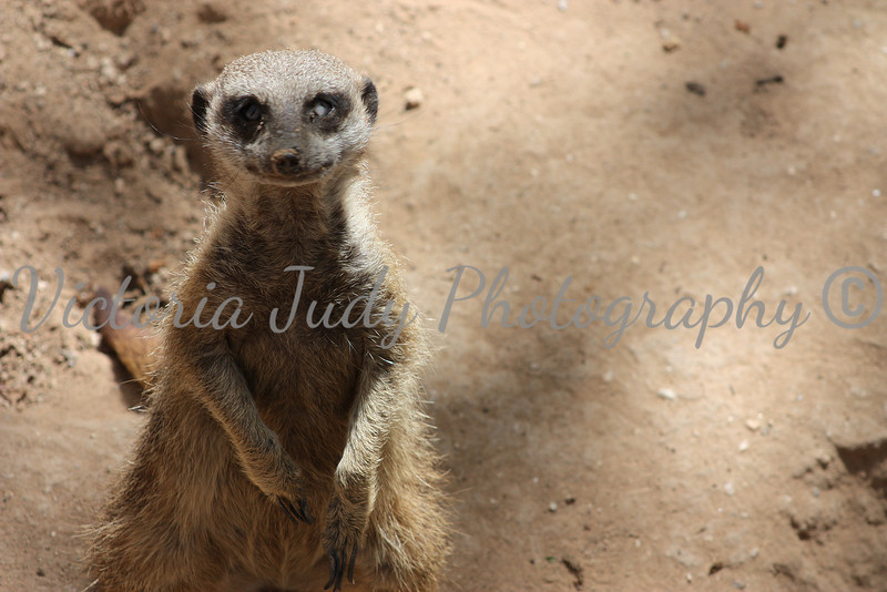 Meerkat 2 - Wildlife World Zoo, Arizona - April 2011