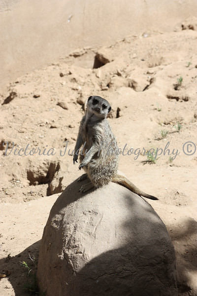 Meerkat - Wildlife World Zoo, Arizona - April 2011