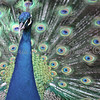 Indian Blue Peafowl 2 - Wildlife World Zoo, Arizona - April 2011