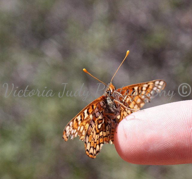 Butterfly - Fay Arch Trail - Sedona, AZ - April 2011