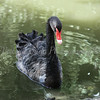 Black Swan - Wildlife World Zoo, Arizona - April 2011