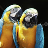 Macaws - Wildlife World Zoo, Arizona - April 2011