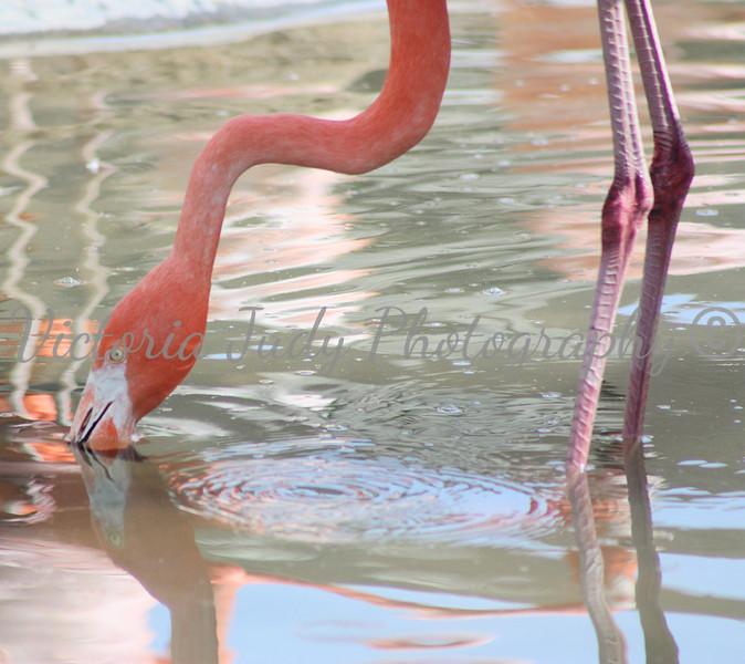 Flamingo - Wildlife World Zoo, Arizona - April 2011