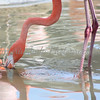 Flamingo - Wildlife World Zoo, Arizona - April 2011