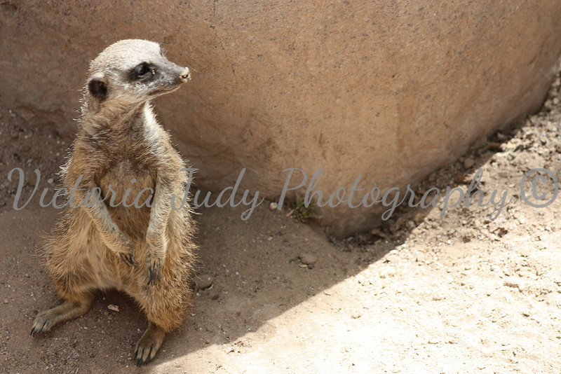 Meerkat 3 - Wildlife World Zoo, Arizona - April 2011
