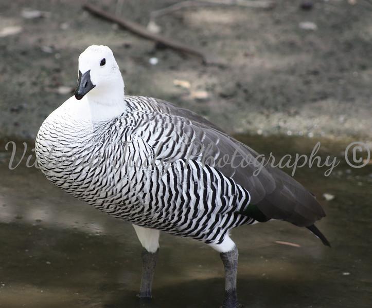 Black & White Bird - Wildlife World Zoo, Arizona - April 2011