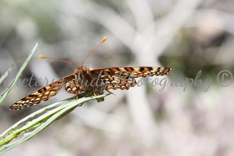 Butterfly 2 - Fay Arch Trail - Sedona, AZ - April 2011