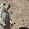Prairie Dog - Wildlife World Zoo, Arizona - April 2011