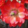 Hedgehog Cactus Flower<br /> <br /> Coronado National Memorial - 2010