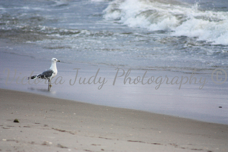 Seagull Watches The Sunrise<br /> <br /> Outer Banks, North Carolina - 2010