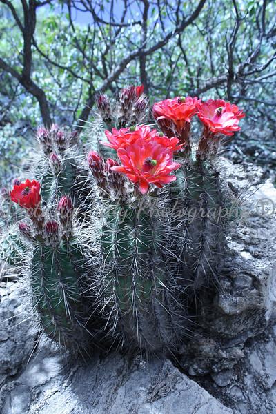 Hedgehog Cacti<br /> <br /> Coronado National Memorial - 2010