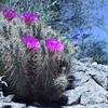 Hedgehog Cactus 2<br /> <br /> White Tank Regional Park - 2010