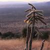 Cane Cholla<br /> <br /> Coronado National Memorial - 2010