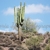 Saguaro On The Shoreline<br /> <br /> Lake Pleasant Regional Park, Arizona - 2009