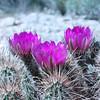 Hedgehog Cactus<br /> <br /> White Tank Regional Park - 2010