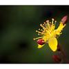 Slender St Johns Wort (Hypericum pulchrum)