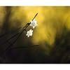 Minature Daffodils Provence