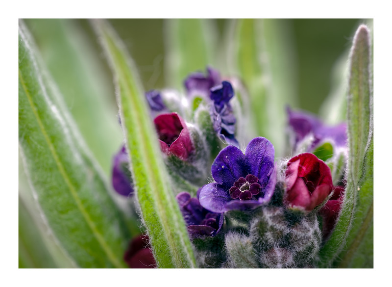 Hound's-tongue in Grey Dunes (Cynoglossum officinale)