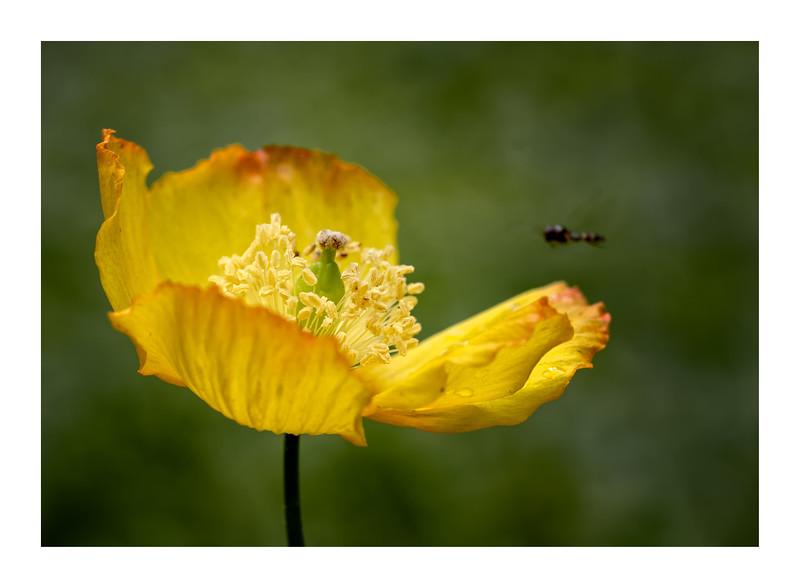 Welsh Poppy 001_WB