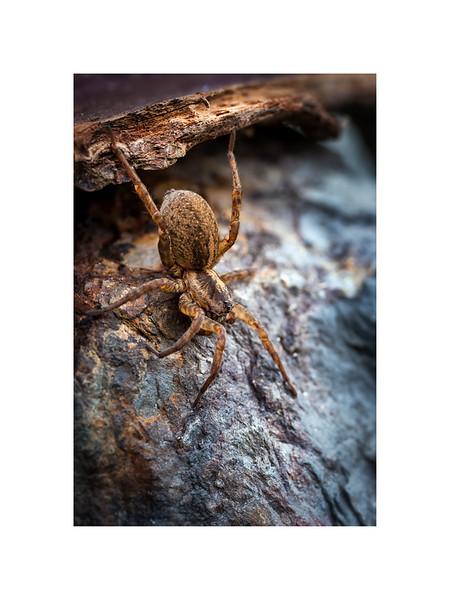 Prowlin & Crawlin, Spotted Wolf Spider (Pardosa amentata).