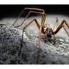 House Spider_Tegenaria gigantea.