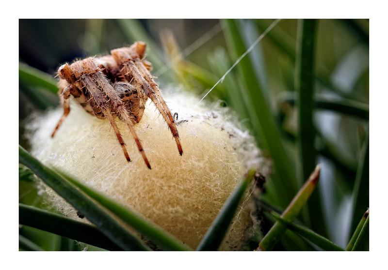 Garden Spider (Araneus diadematus) 01