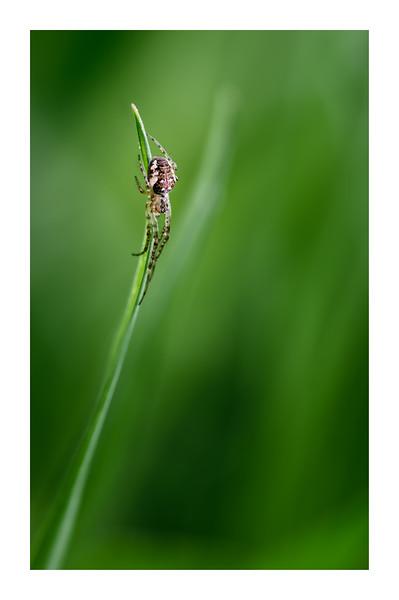 Metellina on Grass Leaf Blade