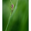 Metellina on Grass Leaf Blade
