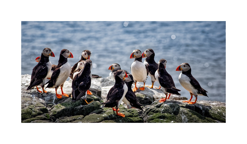 Atlantic Puffin (Fratercula arctica)  Puffin AGM