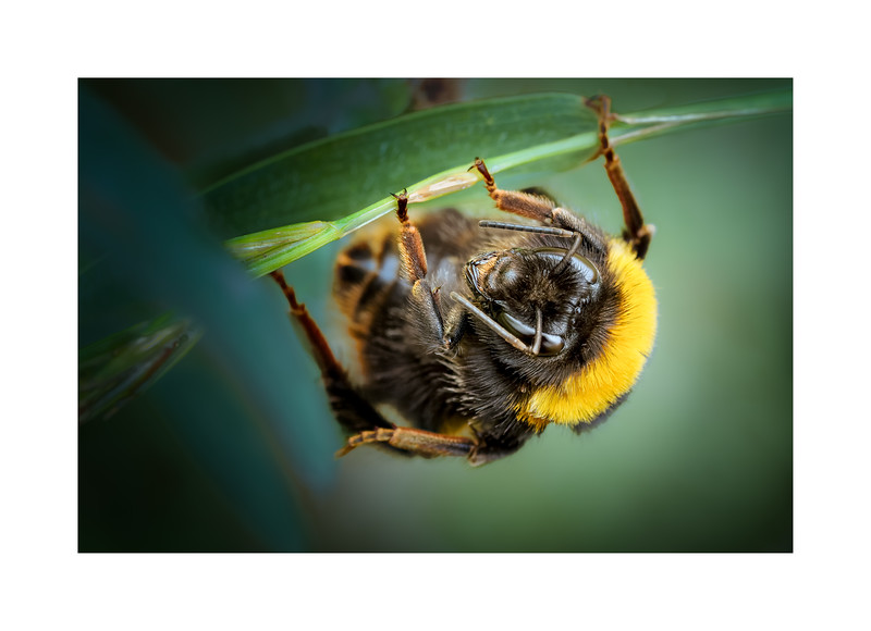 Bombus terrestris (Buff-tailed Bumblebee)