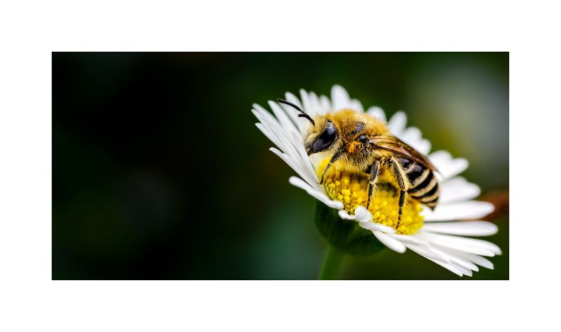 Solitary Bee (Colletes daviesanus)