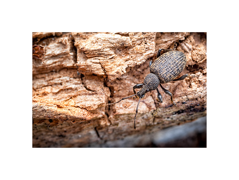 Vine Weevil on Rotten Log_Otiorhynchus sulcatus