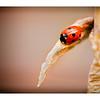 7-Spot Ladybird on Old Aqualegia Leaf