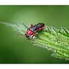 Soldier Beetle (Cantharis nigra)
